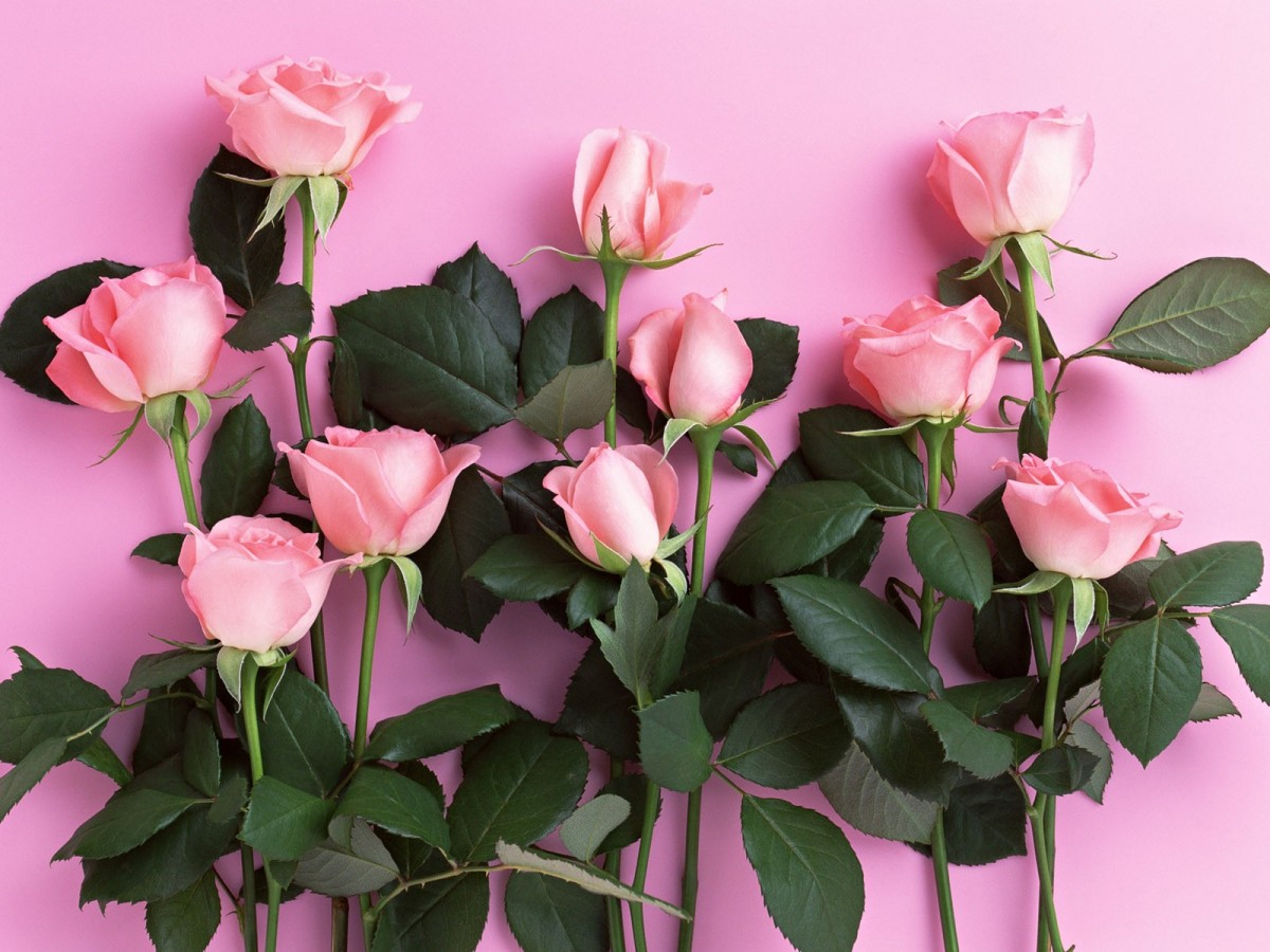 rosen pink.jpg